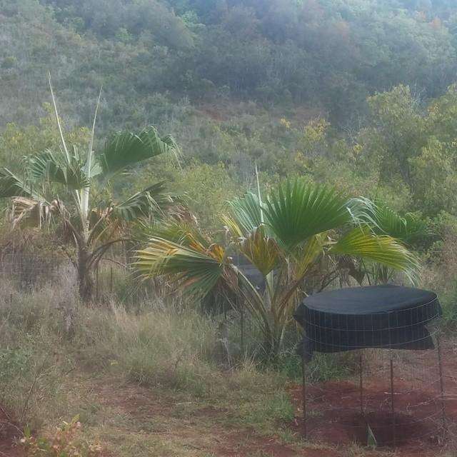 Speciale palmboompjes, de laatste 2 op aarde, aldus Keith.