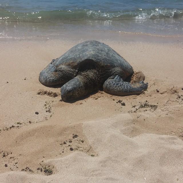 ...schildpadden!!