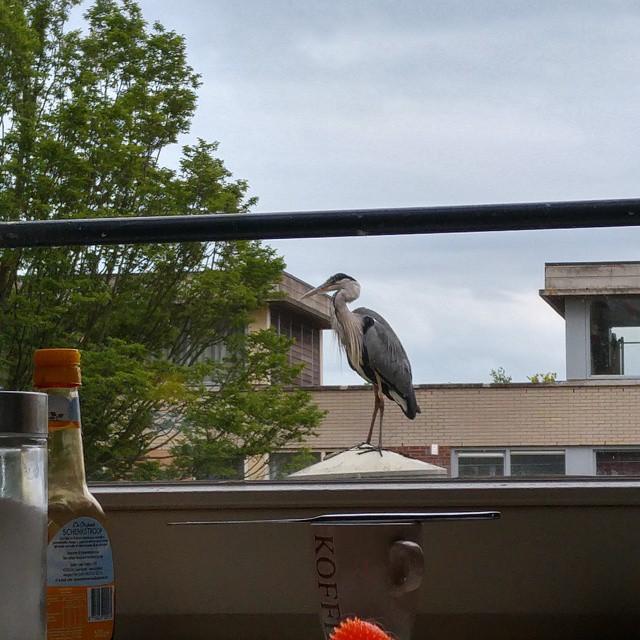 Een minireiger op onze vensterbank.