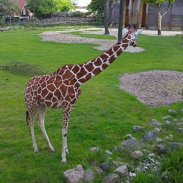 Filmpje: statige giraffe
