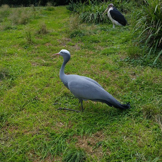 Paradijskraanvogel, nog nooit eerder gezien.